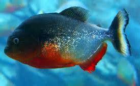 Pakan Ikan Hias Predator jeni jenis ikan predator air tawar yang unik dan populer