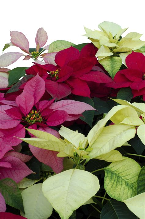 poinsettia plant types learn about poinsettia plant