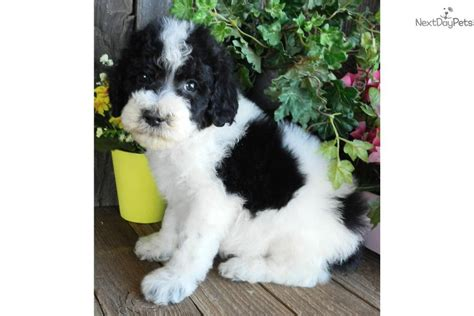 sheepadoodle puppies available now sheepadoodle puppy for sale near abilene 000e146e 88f1