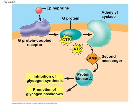 Chapter 45 Textbook Presentation G Protein Coupled Receptors Adenylyl Cyclase