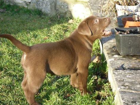 chocolate lab puppies for sale in louisiana dogs lake charles la free classified ads