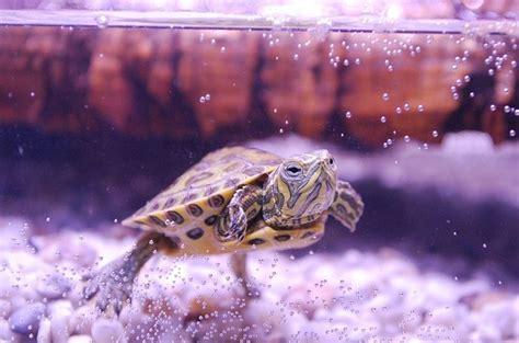 tartaruga d acqua alimentazione tartarughe d acqua dolce specie alimentazione e cose da