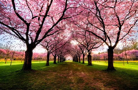 pretty trees landscape trees colors nature colorful cherry blossom tree
