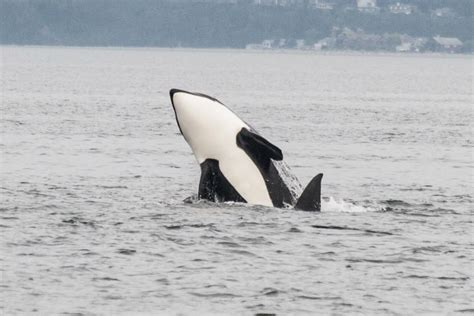 seattle whale watching boat tours whale watching tour seattle edmonds puget sound