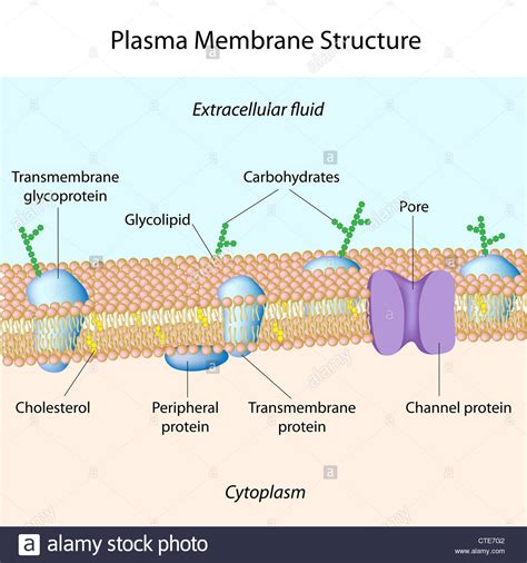 plasma membrane structure stock  plasma membrane