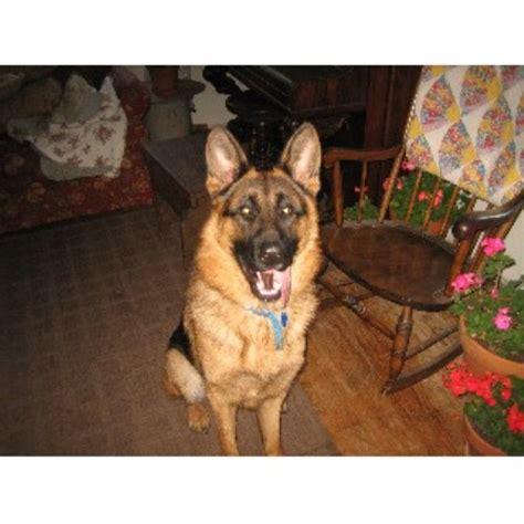 greater wisconsin golden retriever rescue german shepherd stud in janesville wisconsin