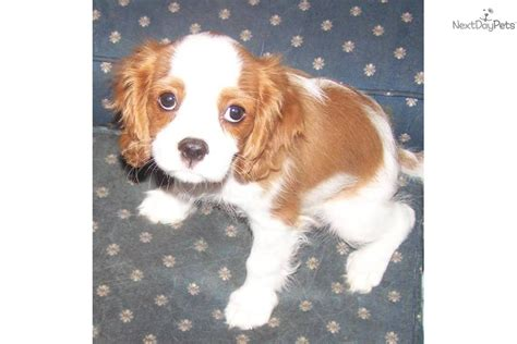 st charles cavalier puppy cavalier king charles spaniel puppy for sale near st louis missouri 58d70268 dae1