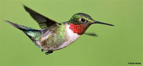 meet an attractive aerial acrobat the ruby throated