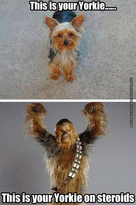 yorkie quotes yorkie on steroids funniest pictures