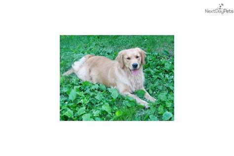 golden retriever puppies chicago golden retriever puppy for sale near chicago illinois 019e053d 0c01