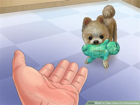 how to take care a pomeranian puppy how to take care of a pomeranian with pictures wikihow