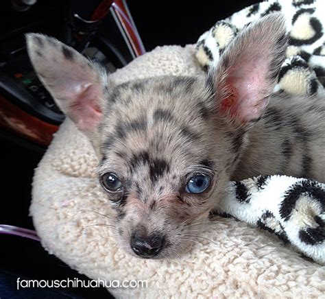 blue merle teacup chihuahua puppies sale image gallery merle chihuahuas