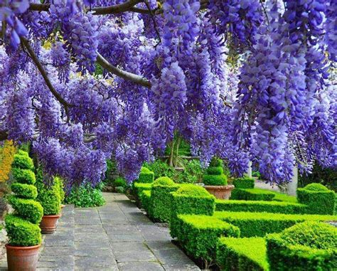 Wisteria Gardens by Wisteria Trees Beautiful Tree Trees