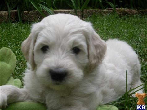 goldendoodle puppy wi goldendoodles for sale in wi www proteckmachinery