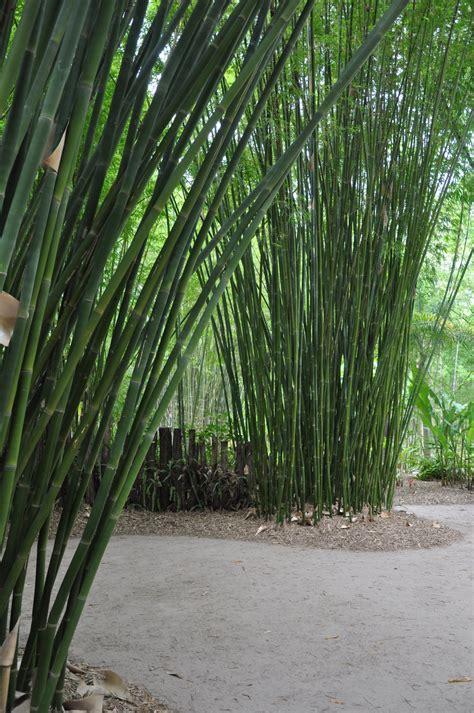 Hedge Planter Bag Large bambusa textilis fasca bamboo land nursery qld australia