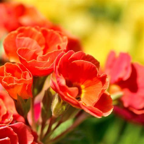 fiori da giardino foto classici o originali i pi 249 bei fiori da piantare in primavera