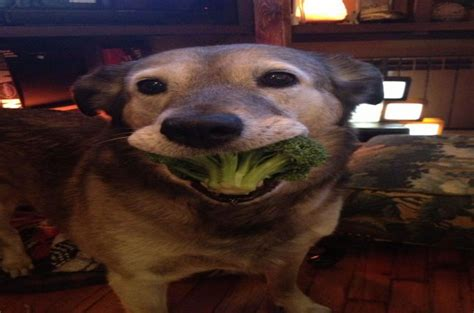 dogs eat broccoli can dogs eat broccoli and cauliflowers the friendly veggies for your pets