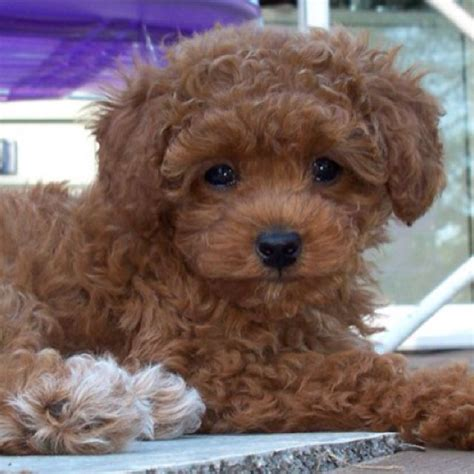 teacup poodle lifespan teacup poodle breeder dogs in our photo