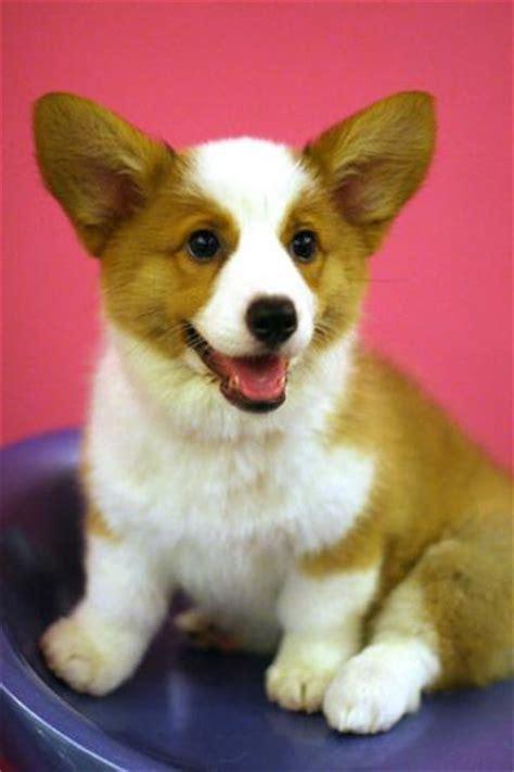 corgi puppy information cardigan corgi puppies mini corgi puppies corgi breeds picture