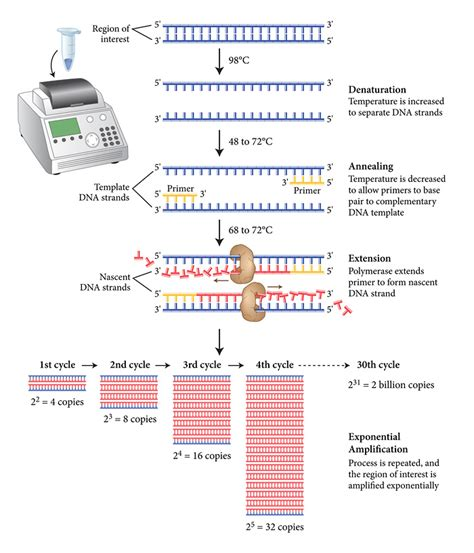 dna amplification pcr neb