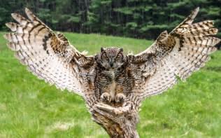Great Horned Owl Images for desktop background   High Resolution
