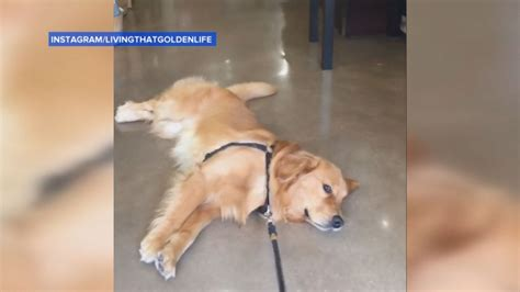 golden retriever doesn t want to leave the pet store this golden retriever doesn t want to leave the pet store abc news