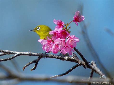 Japanese Cherry Blossom Tree a photographers delight the sakura of japan apogee