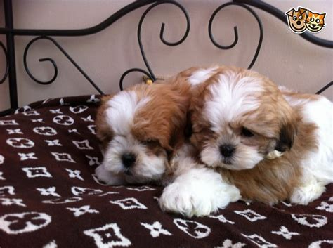 shih tzu x maltese shih tzu x maltese puppies for sale lanark lanarkshire pets4homes