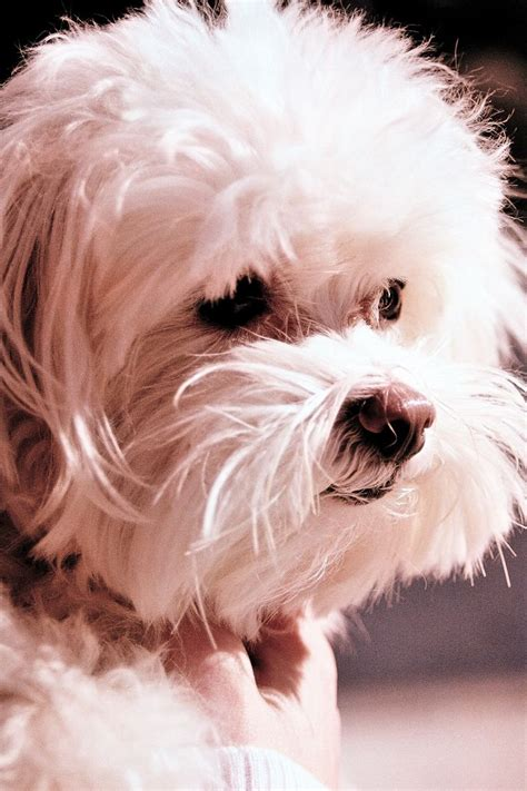 maltese puppy names maltese playful pups names happy and portrait
