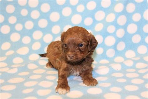puppyspot havanese havanese chocolate puppies breeds picture