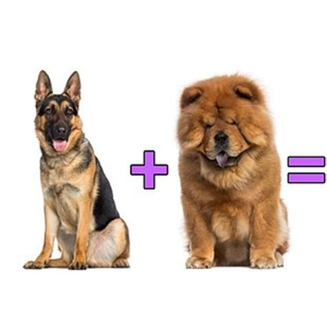 Best In Hybrids by German Shepherd Chow Chow Chowman Shepherd 12 Of The