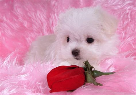 soccer  beauty   cute white puppies