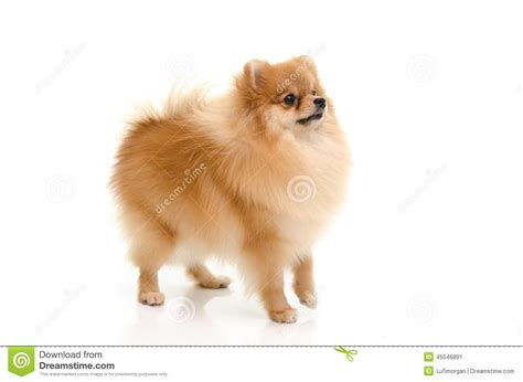 looking for pomeranian puppy pomeranian puppy looking up on white background stock photo image 45546891
