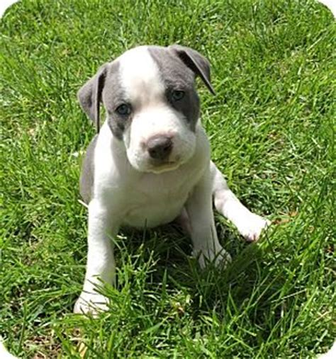 pitbull puppies md baltimore md pit bull terrier american staffordshire terrier mix meet a