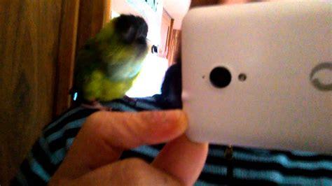 conuro testa nera pappagallo che balla pedro conuro testa nera