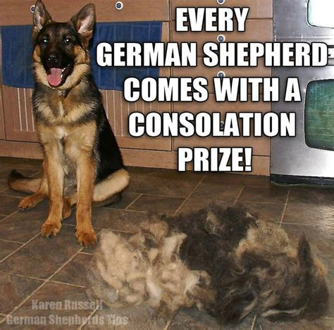 German Shepherd Shedding Problems by 18 Best Ideas About German Shepherd On