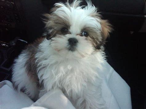 miniature maltese shih tzu 25 best ideas about shih tzu maltese mix on bichon shih tzu mix yorkie