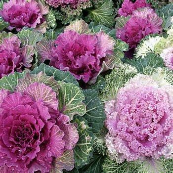 ornamental cabbage annual or perennial ornamental kale seeds brassica kale flower seed