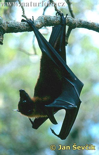 volpe volante pteropus vyrus pictures fruit bat large flying fox
