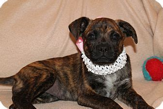 puppies for adoption in pittsburgh pa gemma pittsburgh pa boxer mix meet gemma see a puppy for adoption http