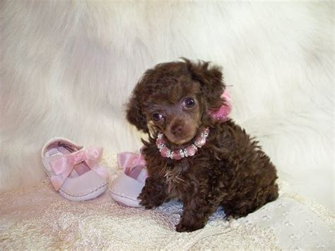 can my teacup poodle get the standard poodle haircut brown teacup poodle www southernladysredpoodles com can