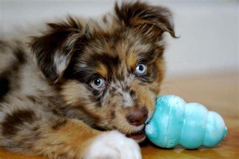 australian shepherd puppy cost australian shepherd puppy with it jpg hi res 720p hd