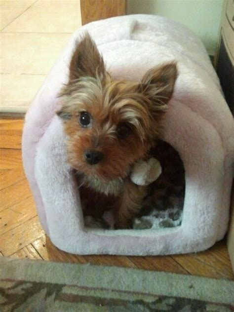 yorkie tooth loss 17 best images about place for a yorkie on pet beds yorkie and beds