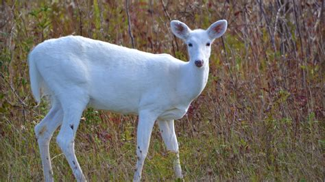do deer see color white deer understanding a common animal of uncommon