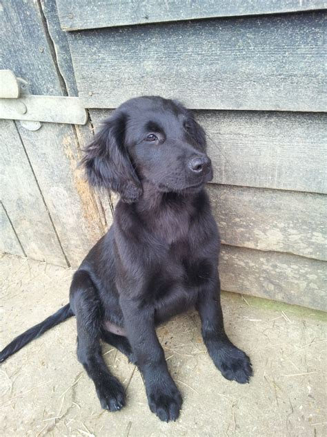 flat coated retriever puppy flat coated retriever puppies only 2 remaining woodbridge suffolk pets4homes