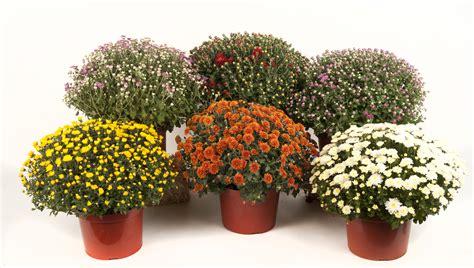 Garden Mums by 1 Gallon Garden Stars Wholesale Bedding Plants