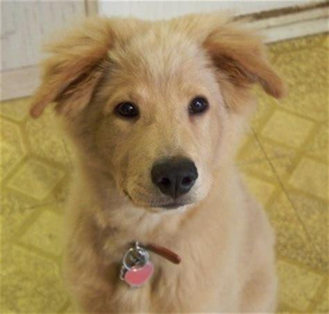golden retriever pomeranian mix puppy golden chow golden retriever and chow chow mix spockthedog