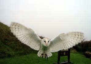Call Of The Barn Owl Barn Owl Ring Bearer Barn Owl Facts