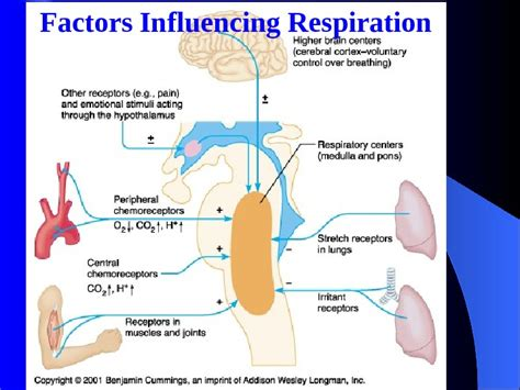 regulation and deregulation section 4 section 4 regulation of the respiration i