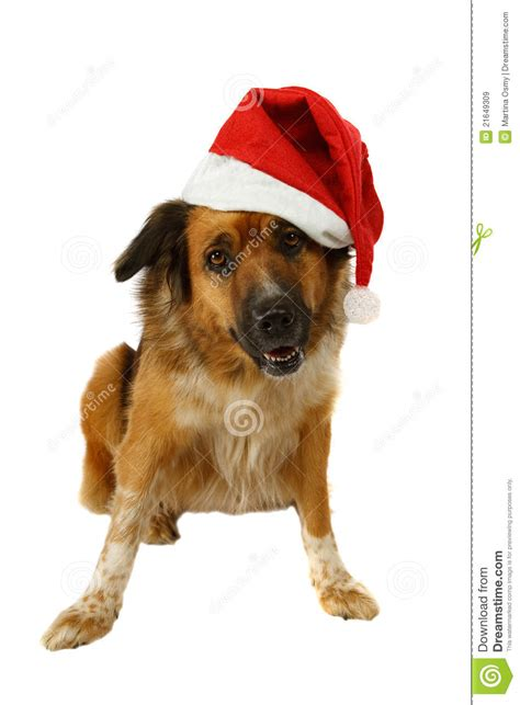 hund sucht gro 223 er hund sucht nach weihnachten lizenzfreie stockbilder